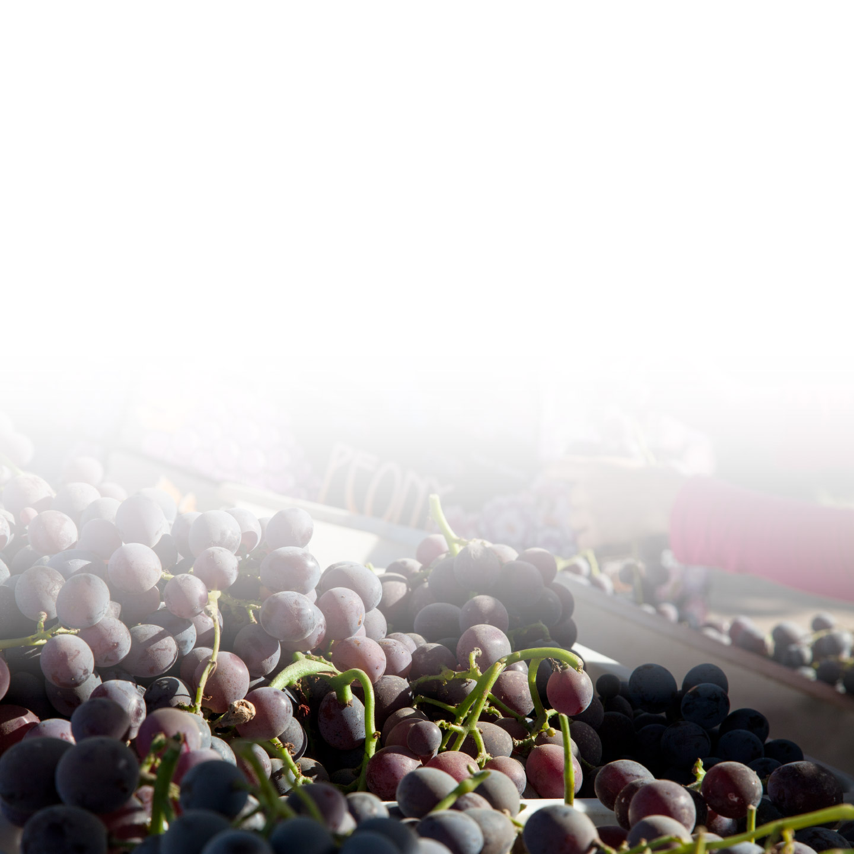 schellenberg-farms-peony