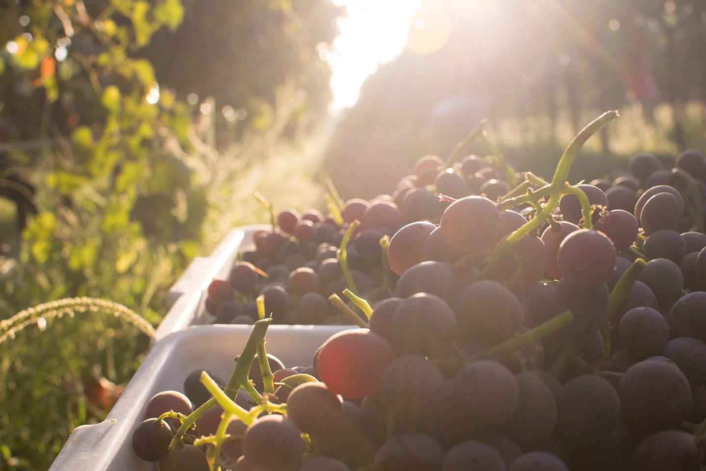 schellenberg-farms-peony-grapes